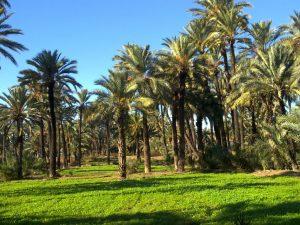 huertos-de-palmeras