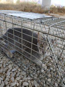 esterilización gatos
